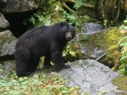 Black Bear at Anan