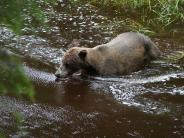 Brown Bear in Anan estuary - CMR